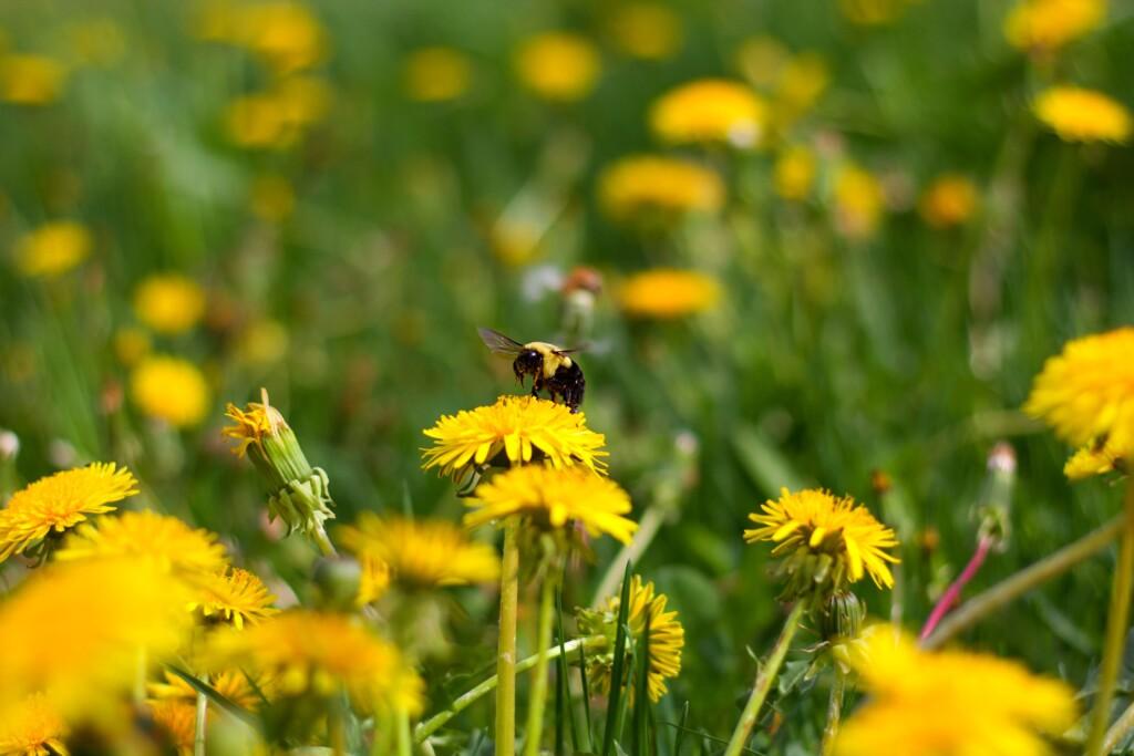 Blühende Löwenzahnwiesen: nicht nur Bienen - sondern auch Augenweide im Mai