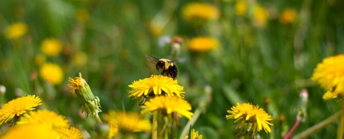 Blühende Löwenzahnwiesen: nicht nur Bienen- sondern auch Augenweide im Mai